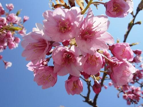 沖縄では一足先に桜が開花しましたよ!!