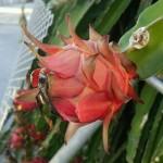 本土では高級果物のドラゴンフルーツが沖縄では道端でよく見かけます