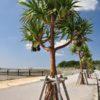 【沖縄県の豆知識】海岸沿いでよく見かける風景。パイナップルが木になっている!?