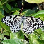 黄金に輝く蛹(さなぎ)からオオゴマダラの蝶に羽化しました~
