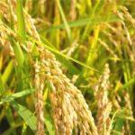 【沖縄県の豆知識】沖縄県では、1年に2回も新米が食べられるんです!