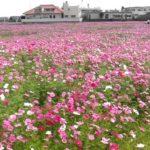 金武町で「第3回伊芸区コスモスまつり」が今週末の29日に行なわれます。