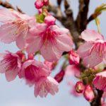 真冬なのに花見が出来る沖縄!そろそろ桜がチラホラ咲いてくる時期です。