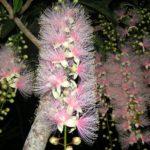 「サガリバナ」は夏に一夜だけ咲く幻の花で、見ると幸せになりますよ。