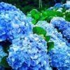 梅雨の沖縄に似合う「よへなあじさい園」は最後の見頃、今月末まで開催しています。