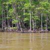 【沖縄県の豆知識】マングローブが海水でも枯れない理由がすごい!