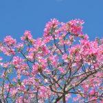 この時期に桜?沖縄で見つけた桜に見間違えたあの花は何・・・?