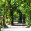【沖縄県の豆知識】実は「備瀬のフクギ並木」は子孫のために植えられた。
