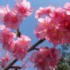 いよいよ沖縄の花見が始まります!桜祭り5箇所の日程と場所は?