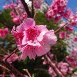 沖縄では桜前線が南下して、那覇市内でも桜が見頃になってきました