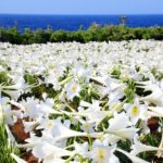GW中、沖縄に居るなら「伊江島ゆり祭り」で100万輪のテッポウユリに癒されてみては?