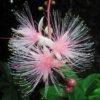 一夜限りで散っていく、幻の花「サガリバナ」は今月末からが見頃です。