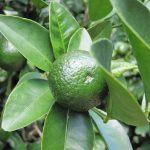 沖縄県で「緑の宝石」と呼ばれている沖縄県産の果物は今が旬の果物です!