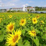 日本一早い「ひまわりまつり」が沖縄で2月から開催されます。