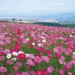 沖縄では冬なのに秋桜(コスモス)が今月末から見頃ですよ